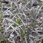 black-mondo-grasses