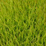 libertia-grandiflora-seedli